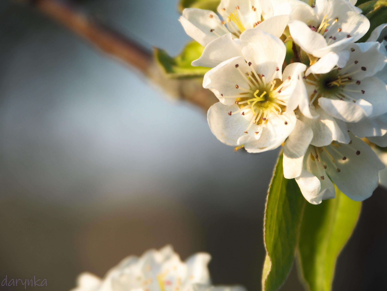 квіти груші 3.jpg