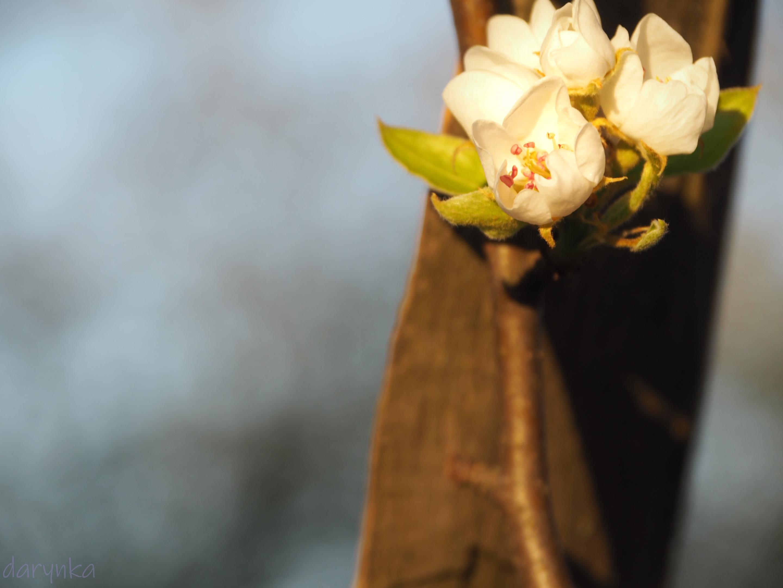 квіти груші 1.jpg