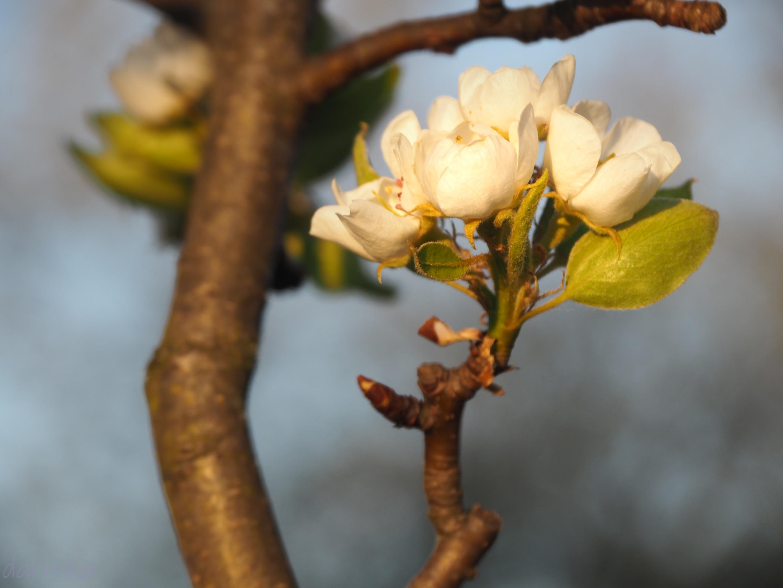 квіти груші 2.jpg