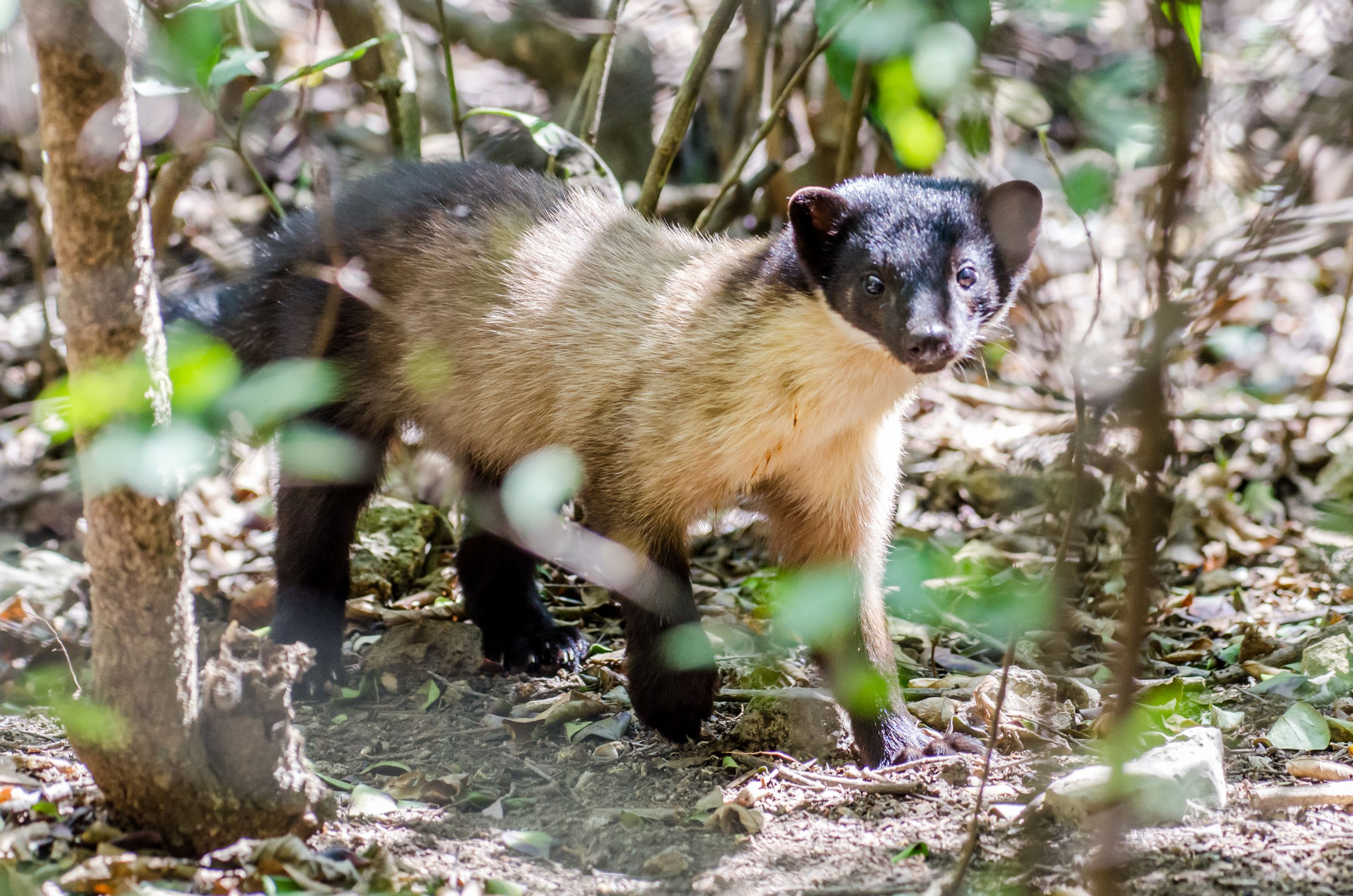 Hive Stock Images - Yellow-throated marten