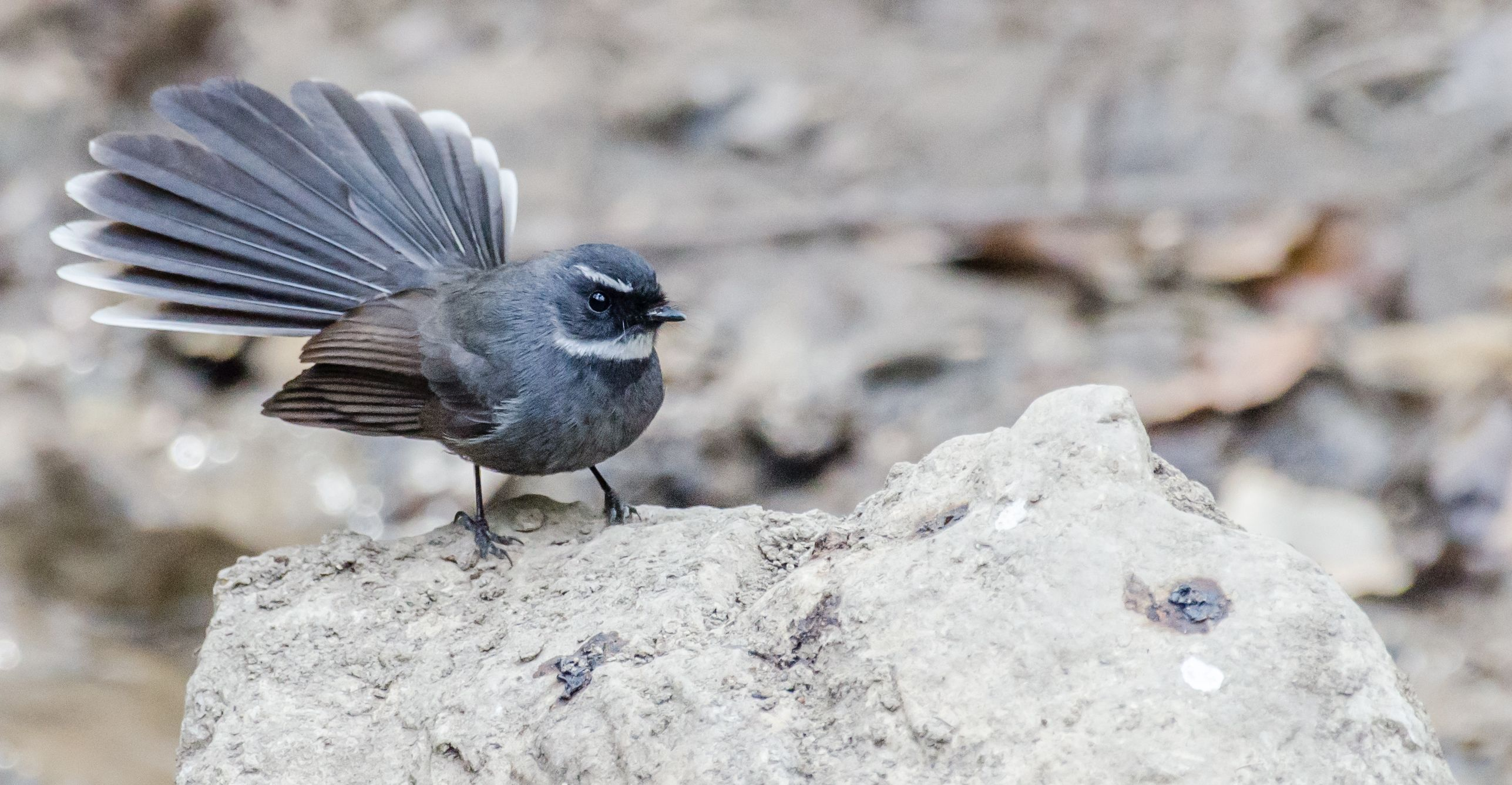 Hive Stock Images - White-throated Fantail