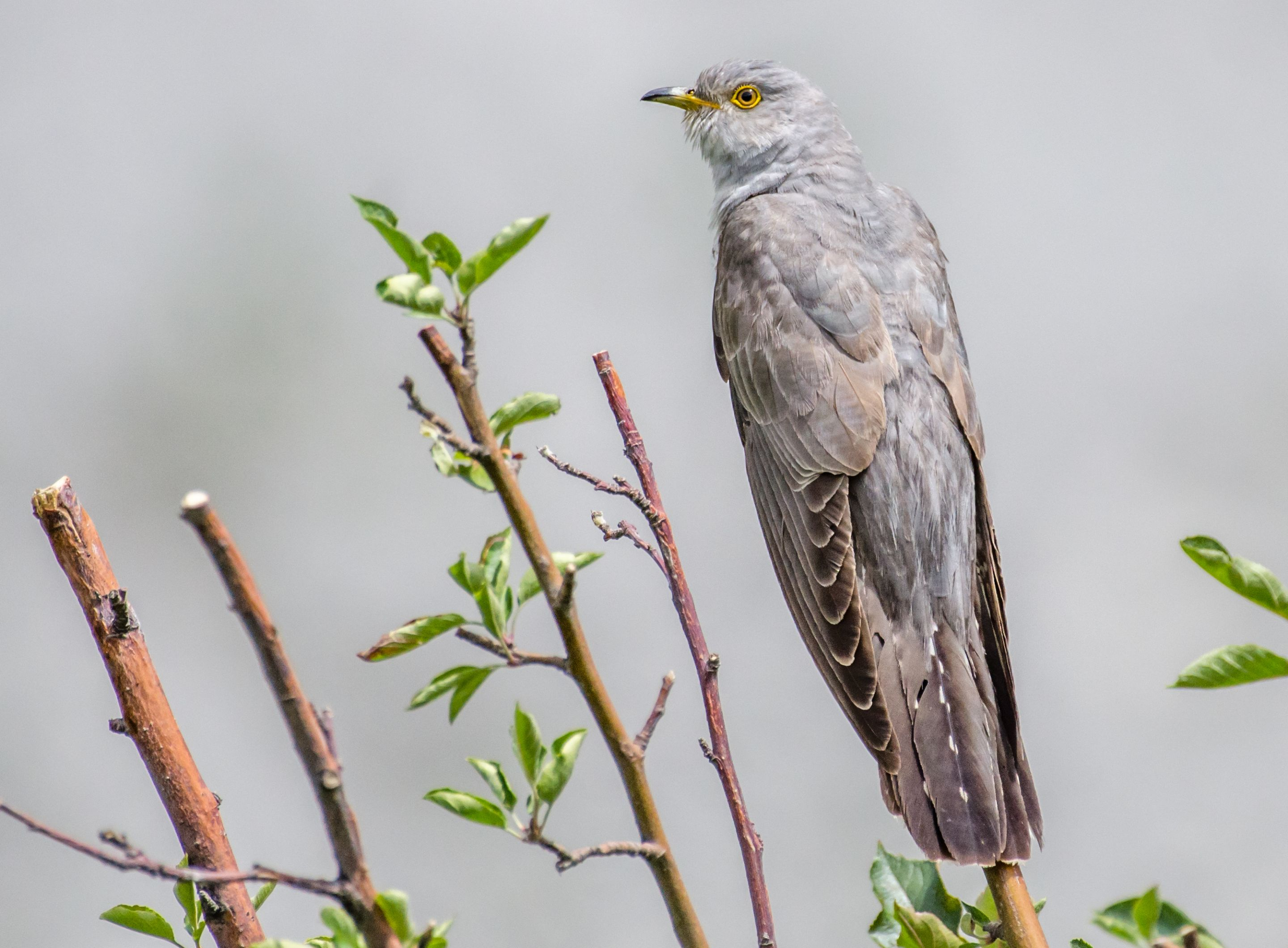 Hive Stock Images - Cuckoos